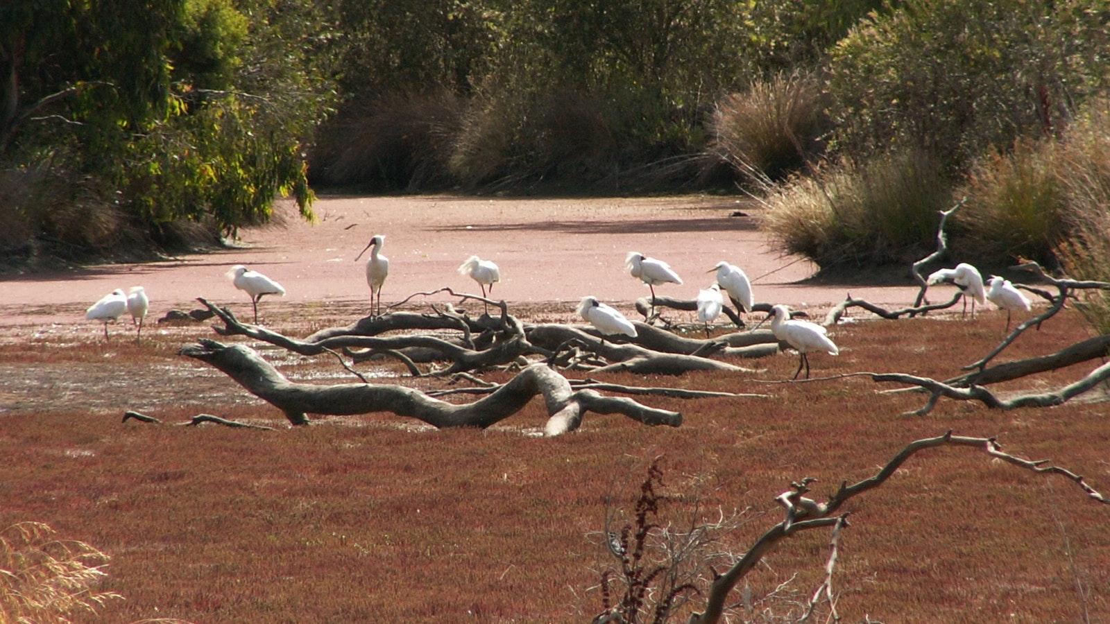 spoonbills and egrets
