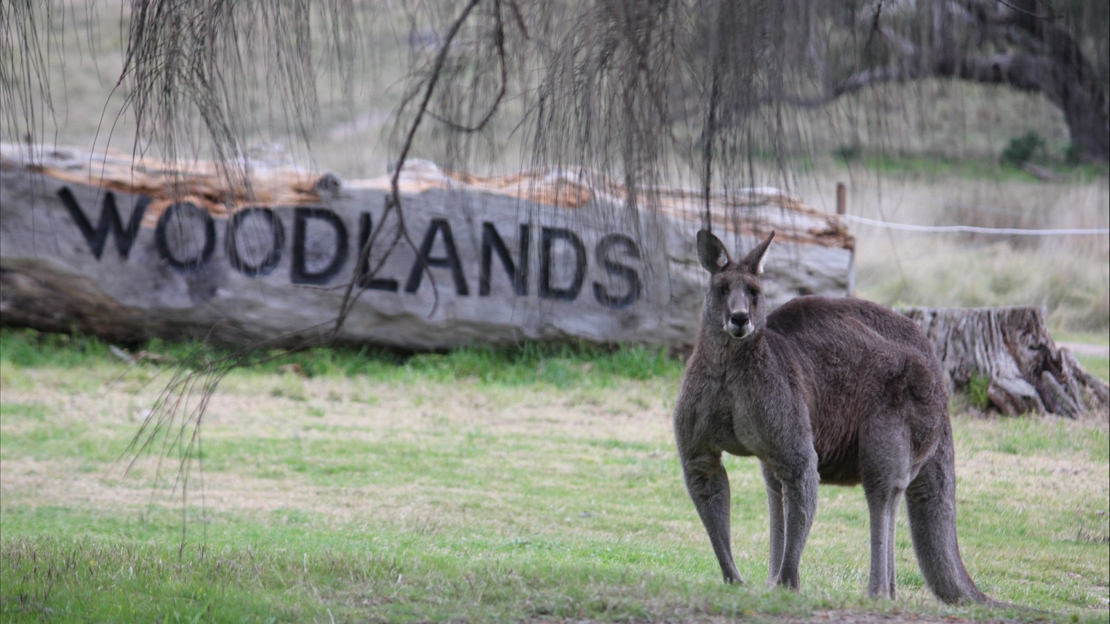 Kangaroo at Living Legends - Woodlands