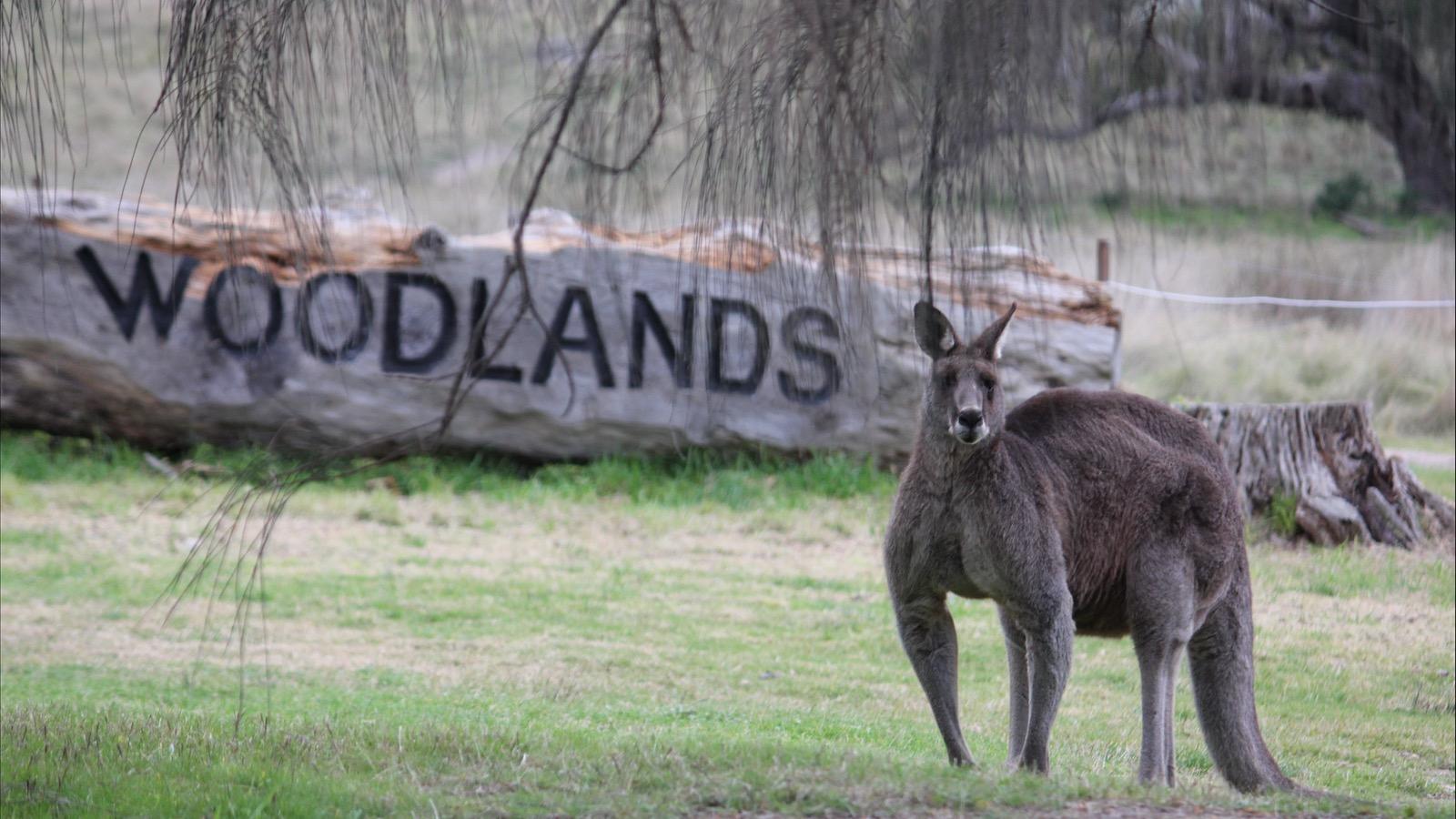Kangaroo at Living Legends - Woodlands