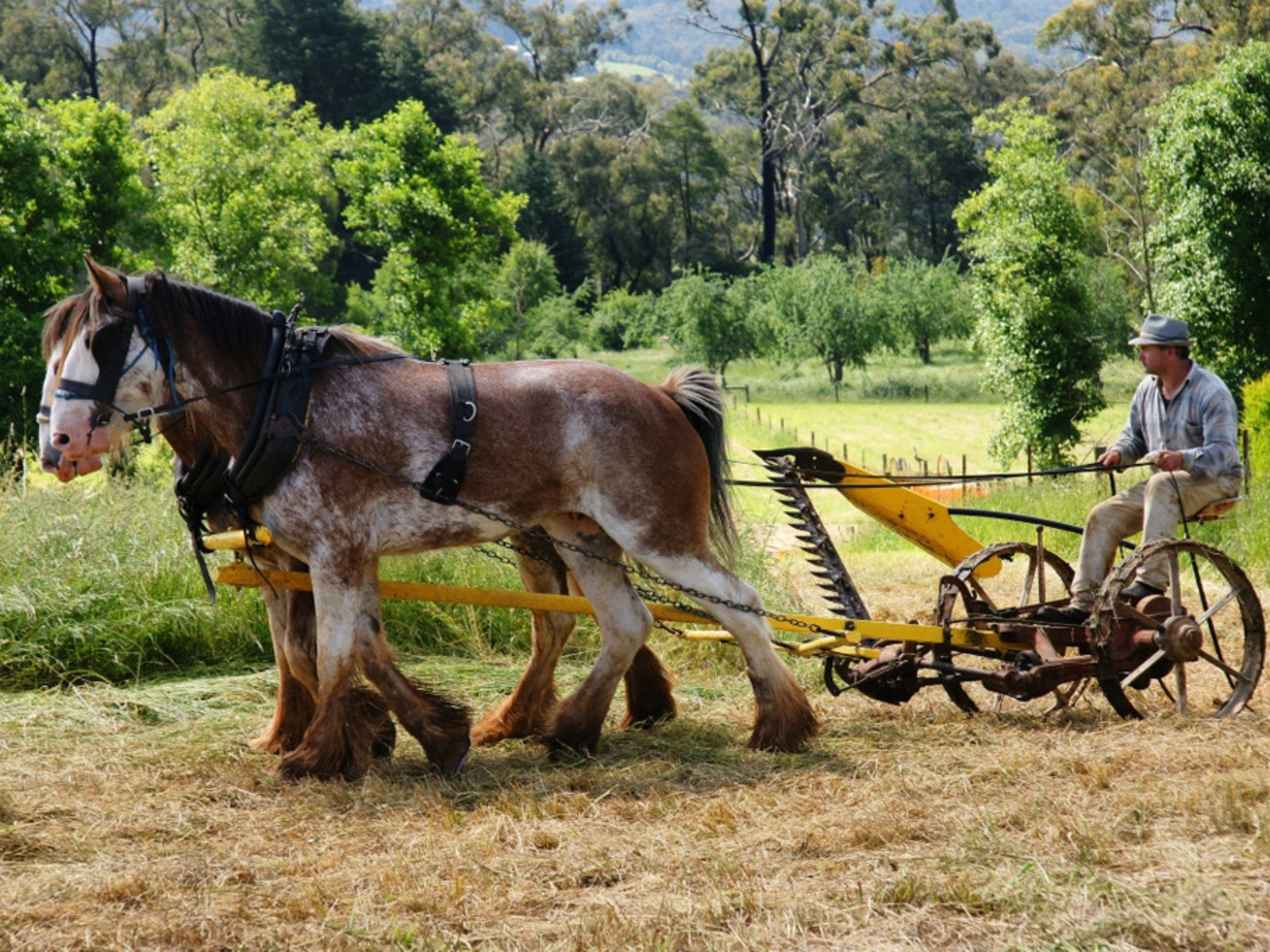 Draughthorse cutting the field