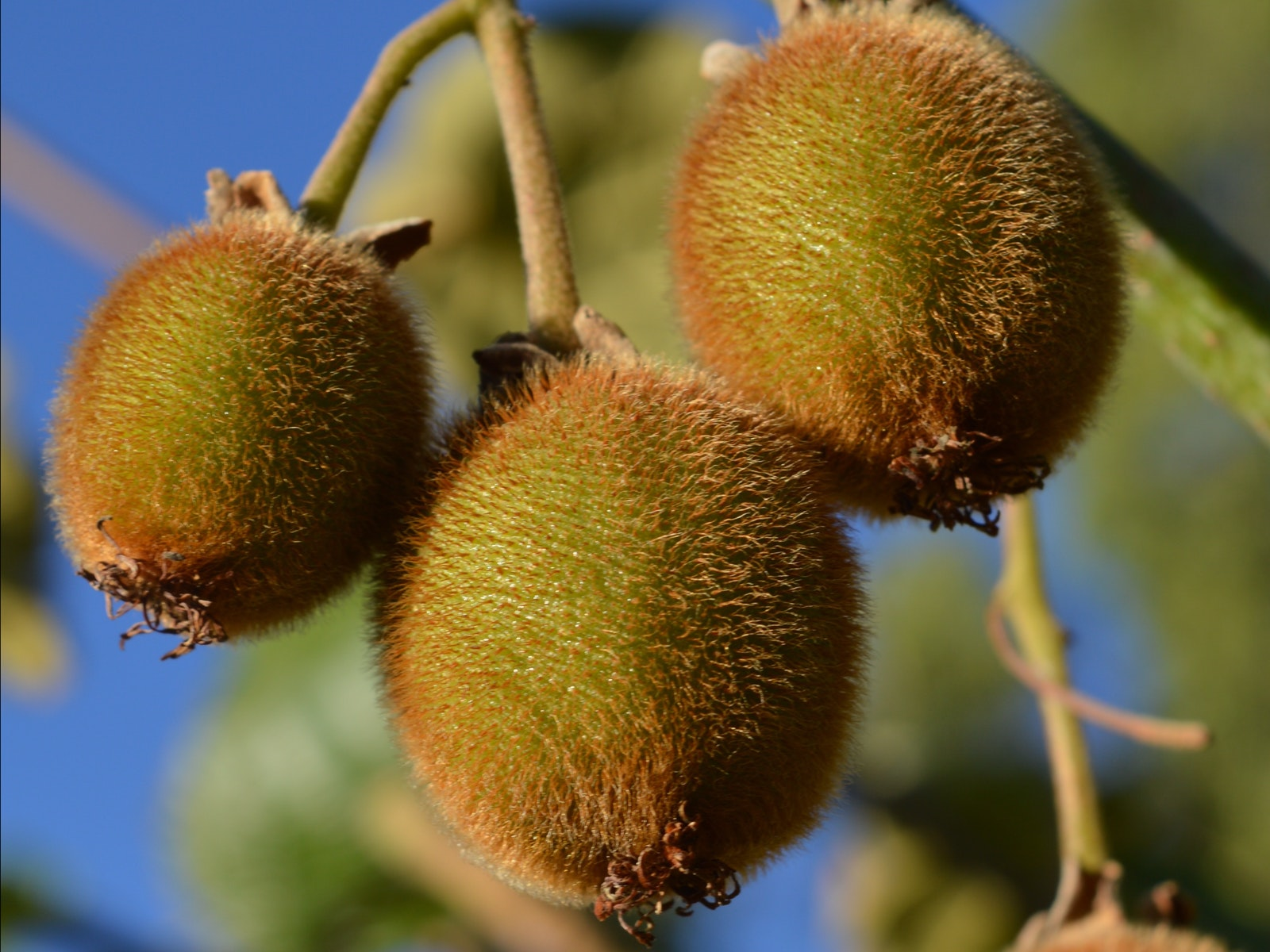 Kiwi Fruit for U Pick
