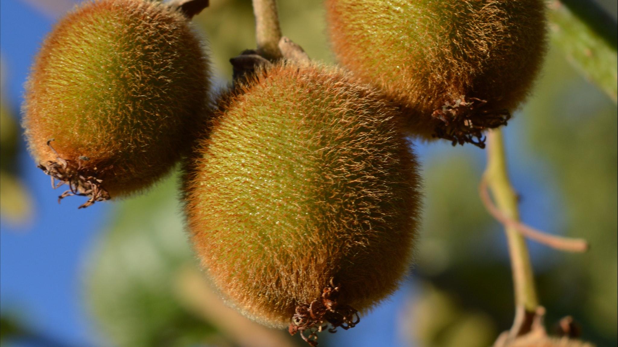 Kiwi Fruit for U Pick