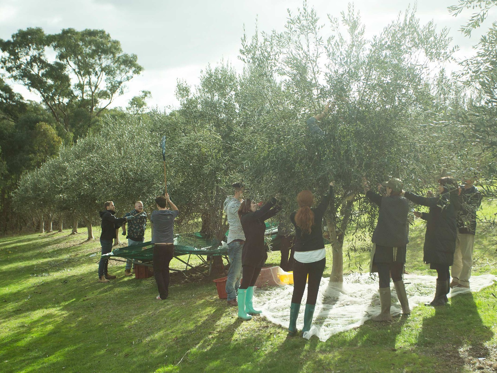 Grovedale Olives