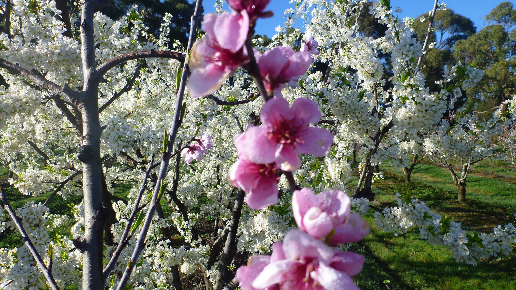 Blossom Season at Rayners Orchard