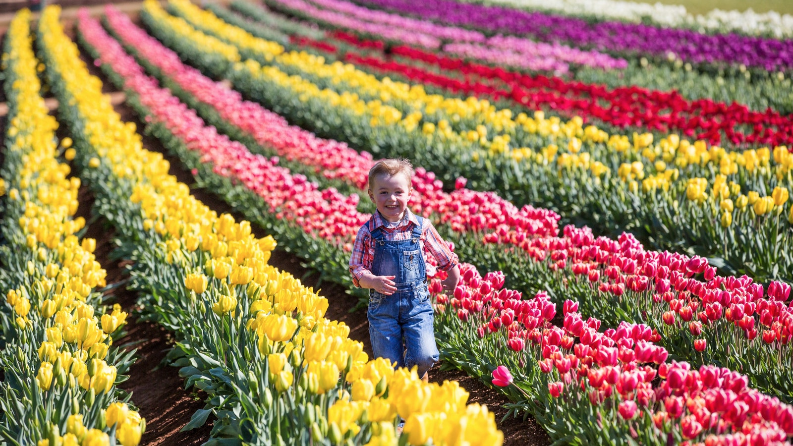 You ca be amongst the tulips at The Tesselaar Tulip Festival
