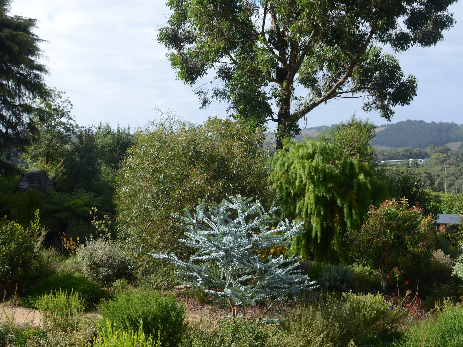 "alt=""grey leaved native tree surrounded by native shrubs and a large gum tree in the background"""