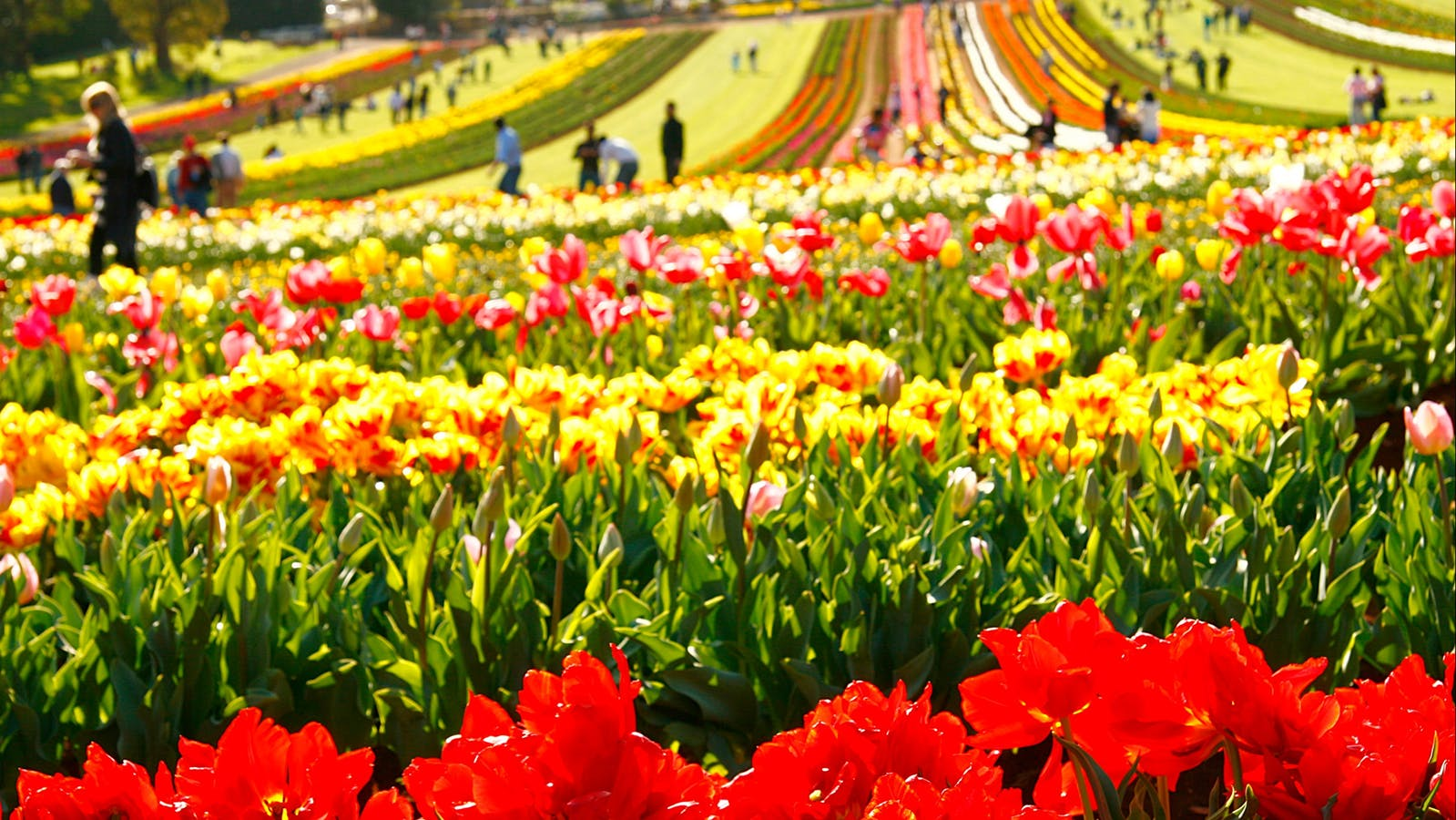Almost a million tulips to dazzle you.