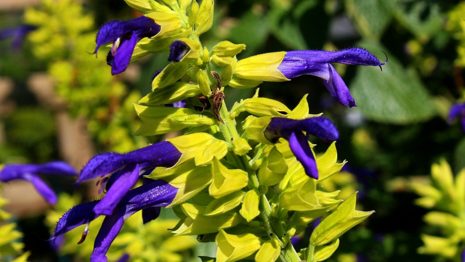 Tindale Garden salvia limelight bursting with complimentary color