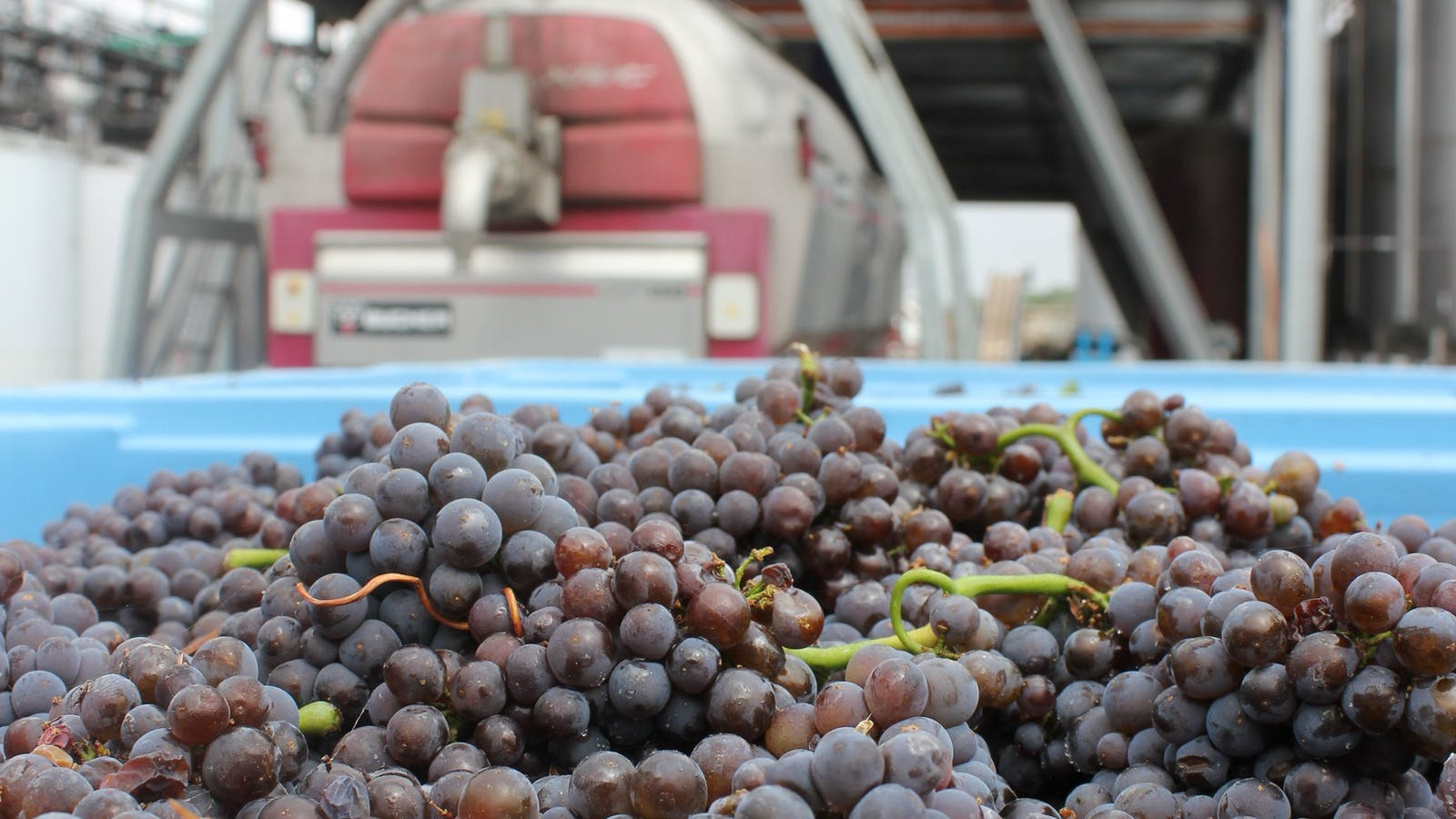 Pinot Gris headed to the press