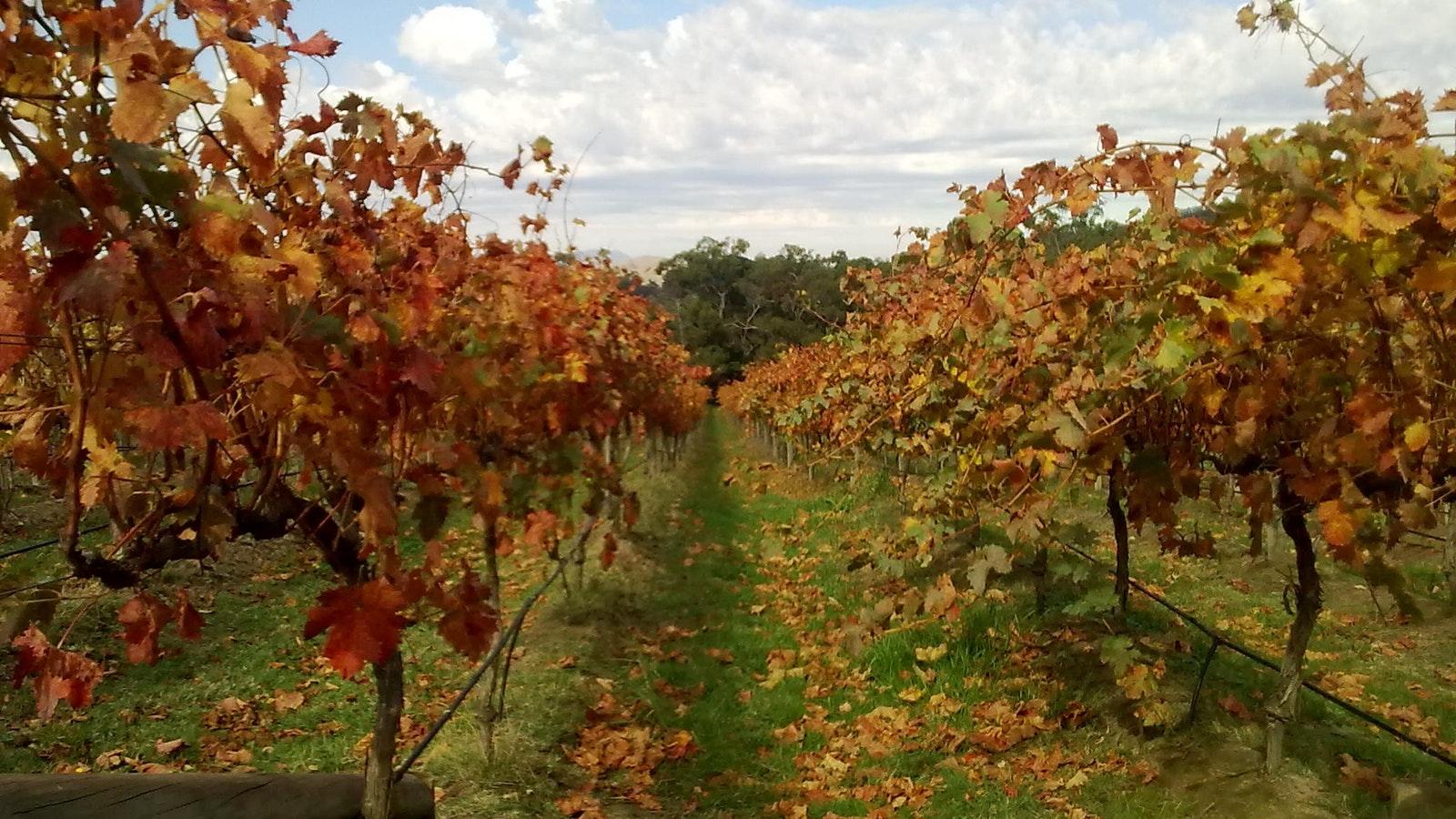 Sutherland Estate Tempranillo vines