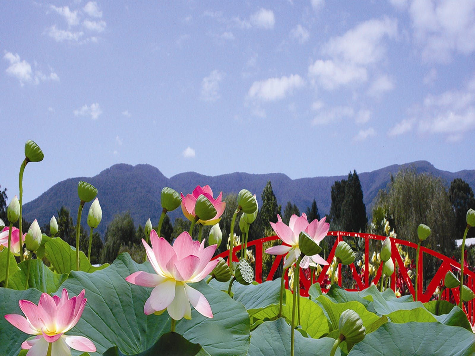 Blue Lotus Water Garden, Peter Cochrane