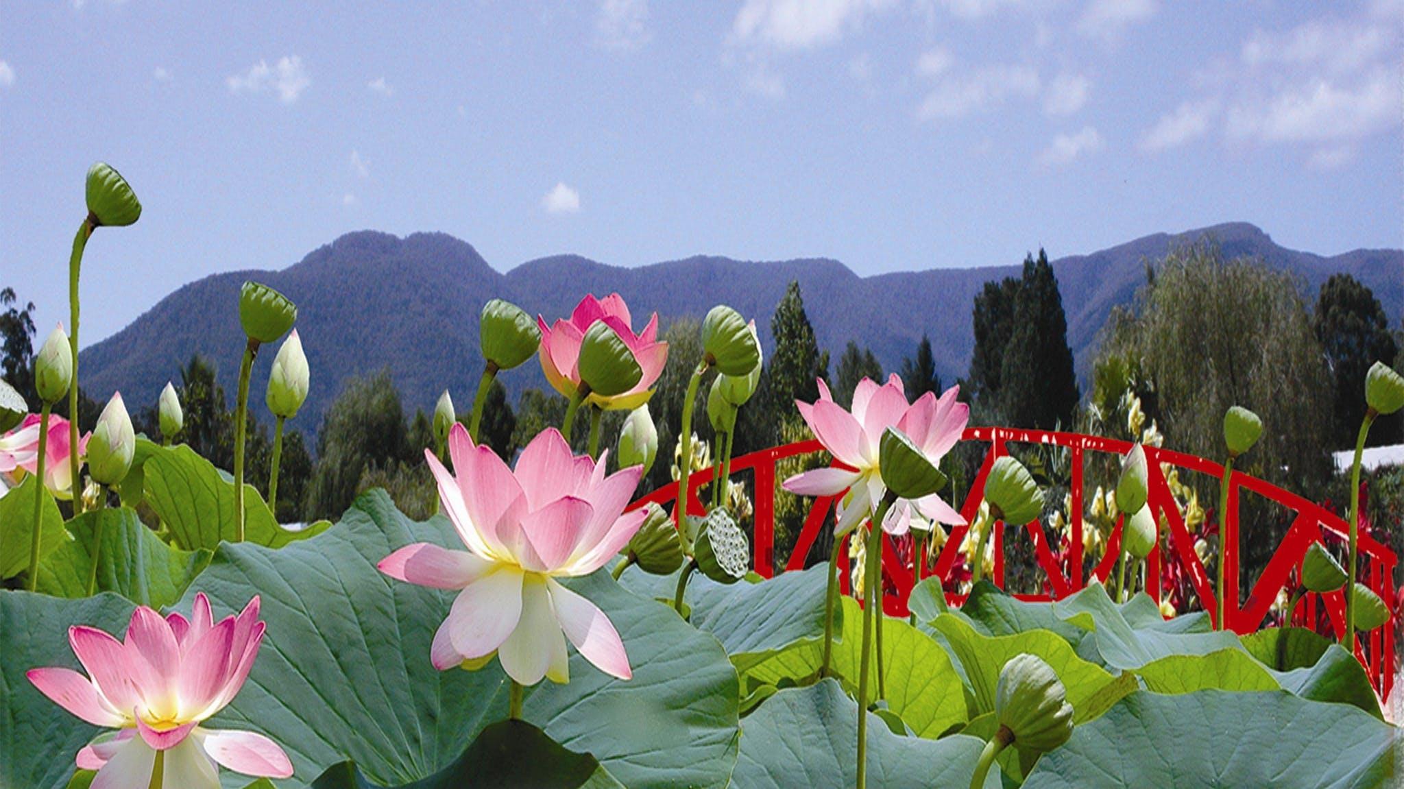 Blue lotus water garden attraction yarra valley dandenong ranges blue lotus water garden peter cochrane izmirmasajfo