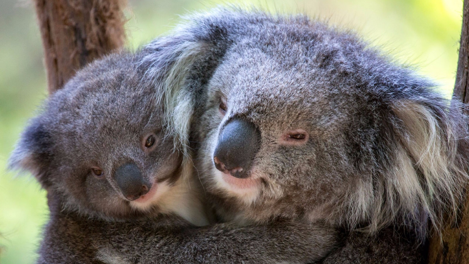 Koalas Hazel and Emily