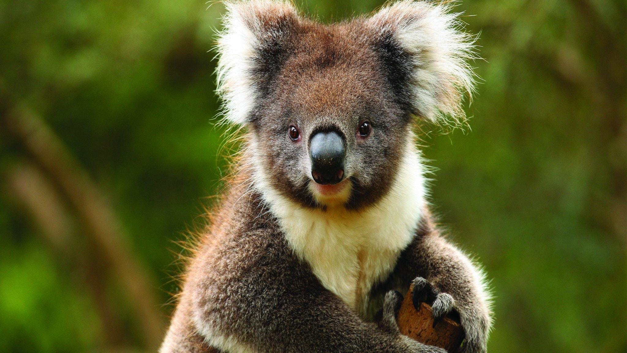 Koala - Healesville Sanctuary