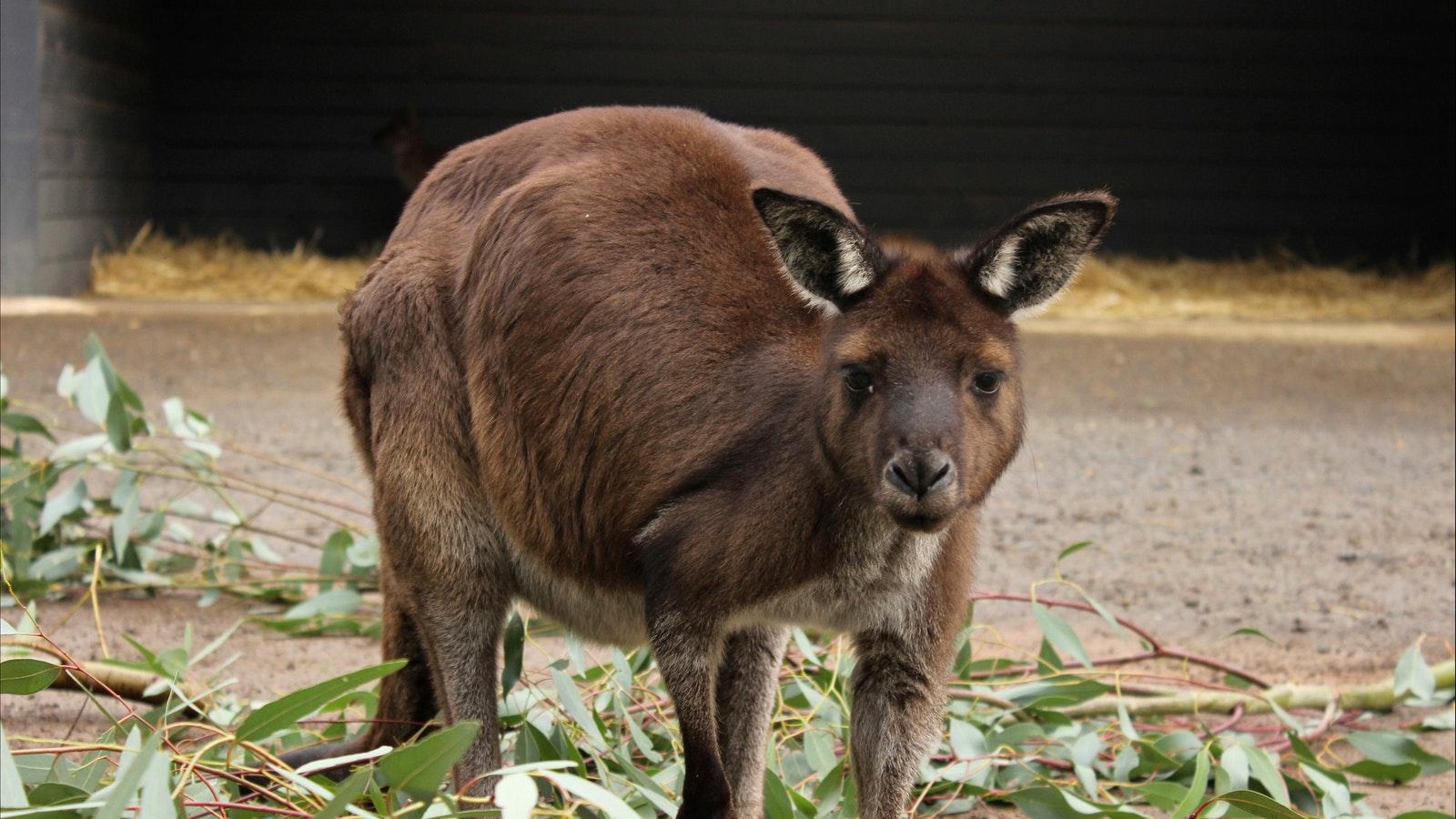 Sanctuary Resident Kangaroo