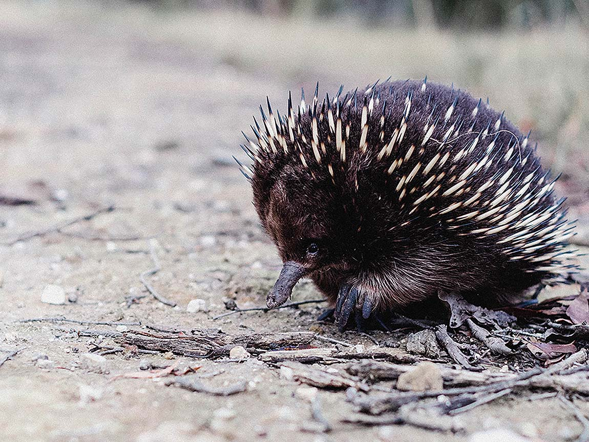 Echidna at Macedon, Daylesford and the Macedon Ranges, Victoria, Australia