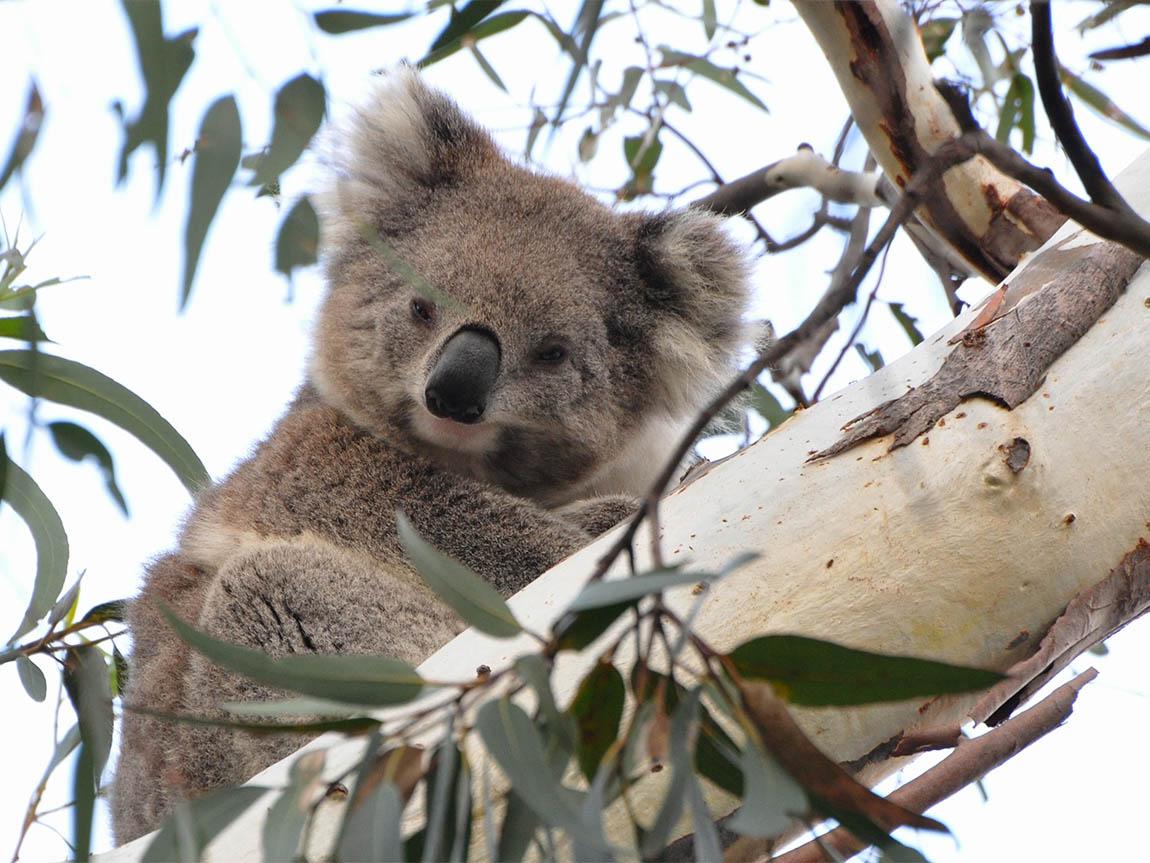 Smoky the koala, part of Echidna Walkabout Nature Tours wild koala research project, Victoria, Australia