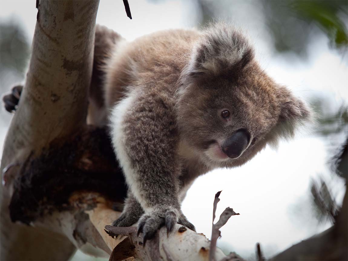 Koala at the Koala Conservation Centre, Phillip Island Nature Parks, Phillip Island, Victoria, Australia. Photo: Ross Holmberg
