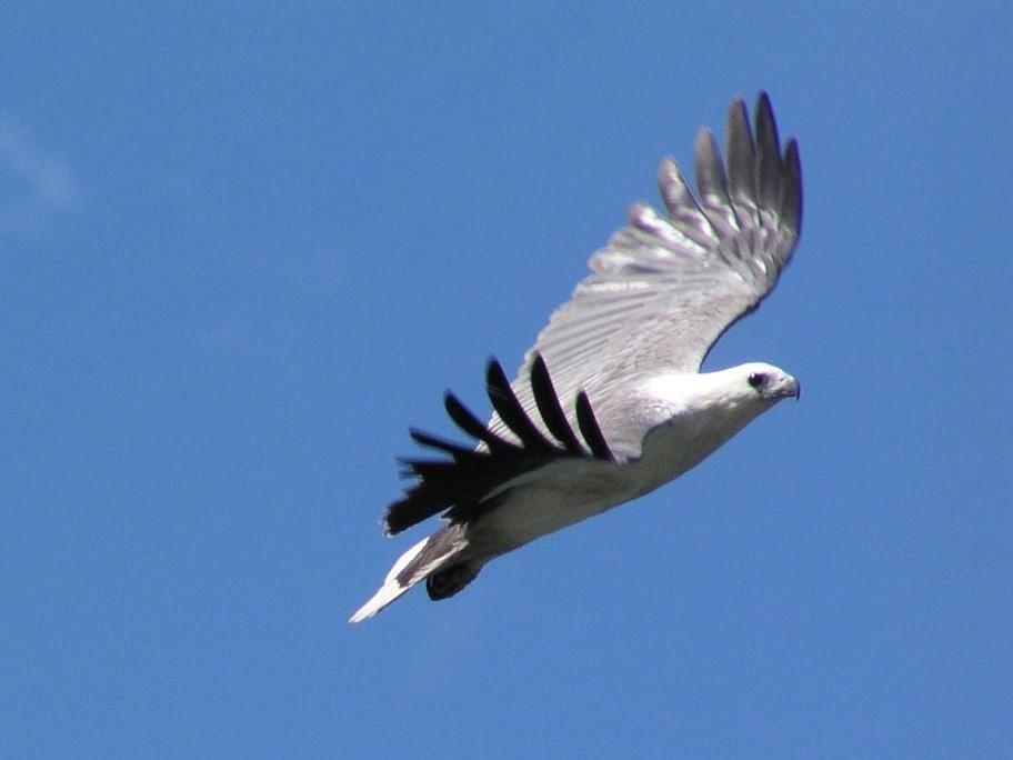 White-bellied Sea Eagle over Mallacoota Lake, Echidna Walkabout Nature Tours, Gippsland, Victoria, Australia