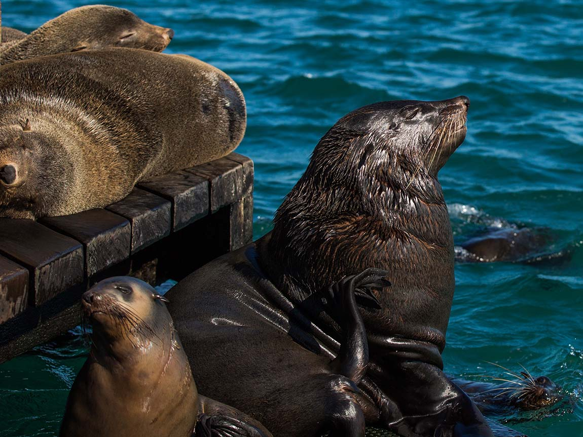 Seals in Port Phillip Bay, Geelong and the Bellarine, Victoria, Australia