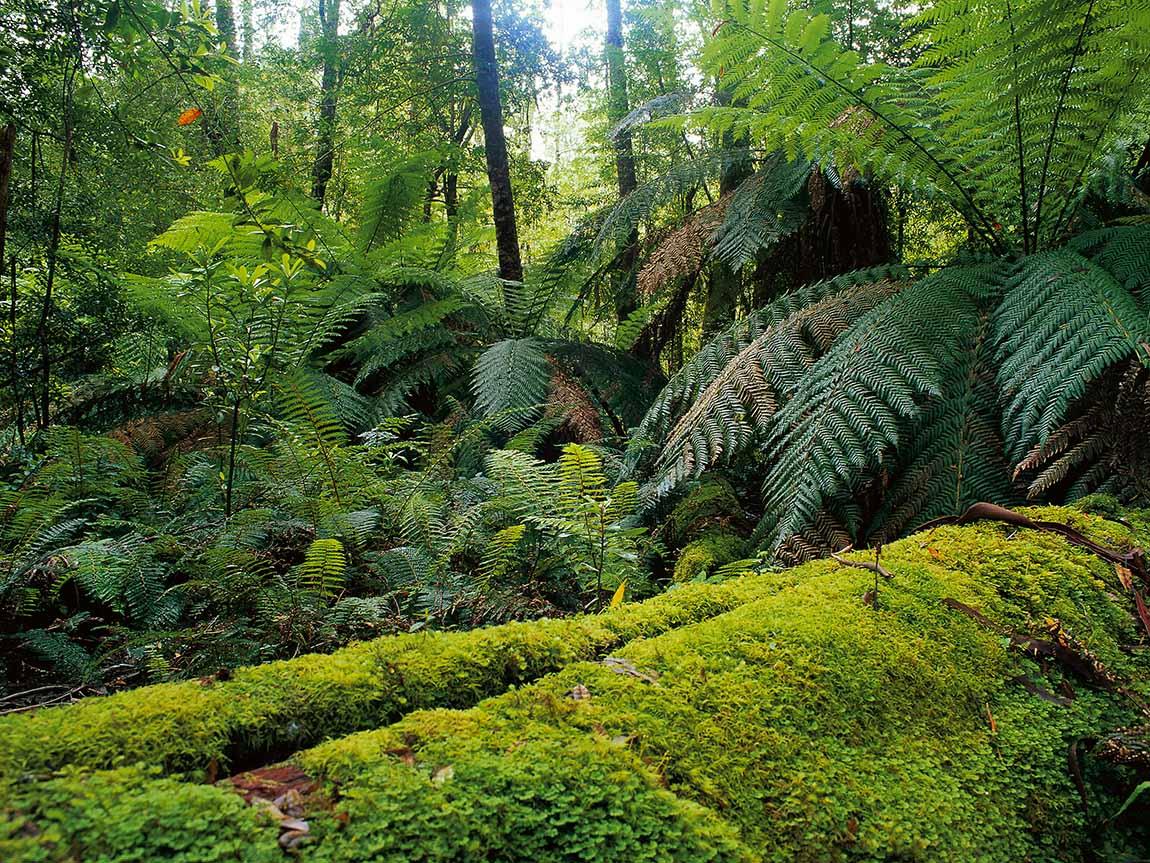 Errinundra National Park, Melbourne, Victoria, Australia