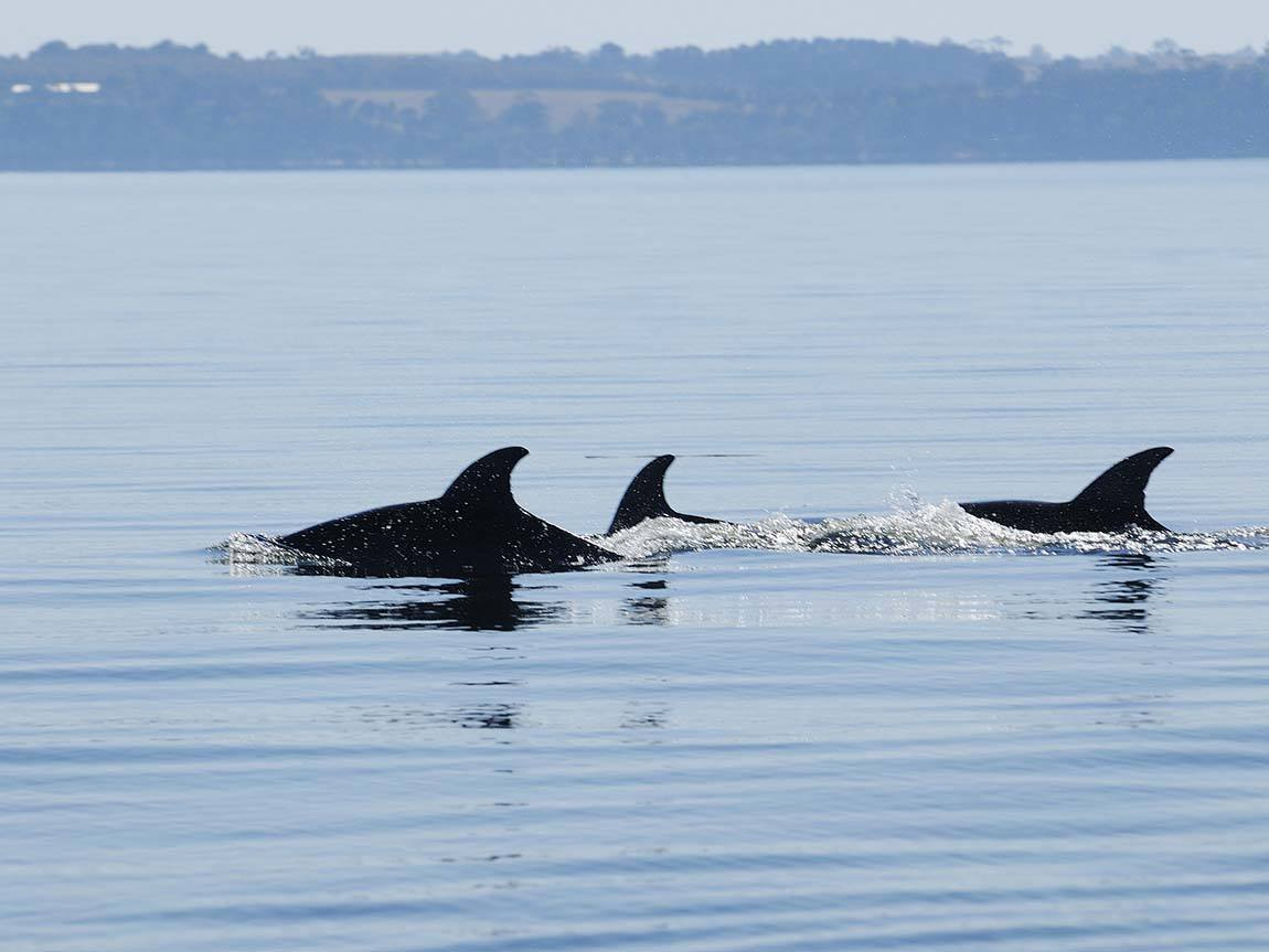 Dolphins at Metung, Gippsland, Victoria, Australia