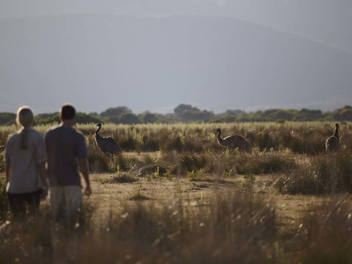 Emus in the wild, Gippsland, Victoria, Australia