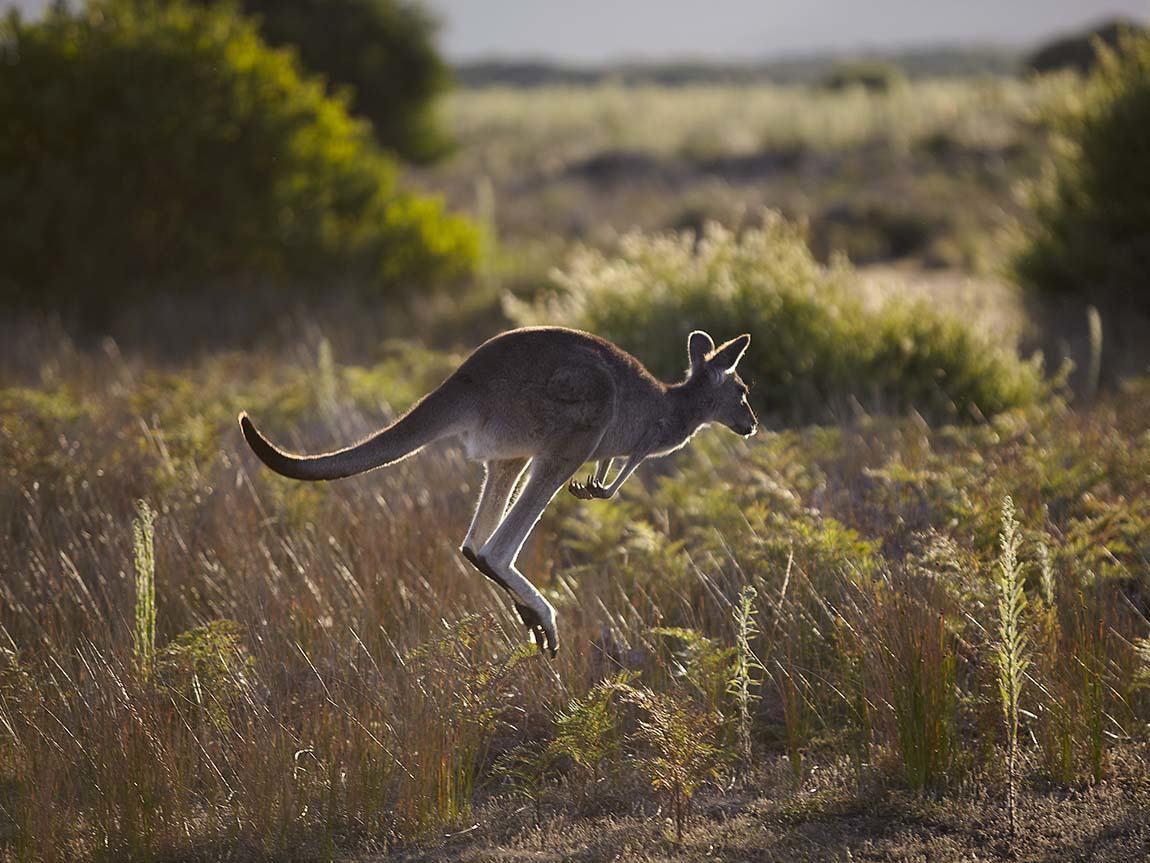 Kangaroo at Wilsons Promontory, Gippsland, Victoria, Australia