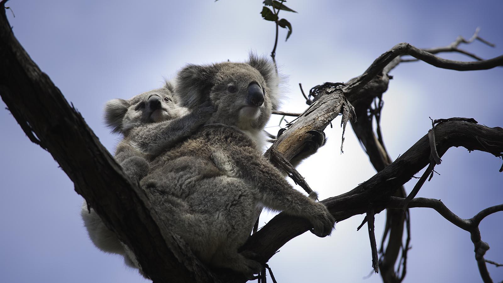 Koalas on Raymond Island, Gippsland, Victoria, Australia