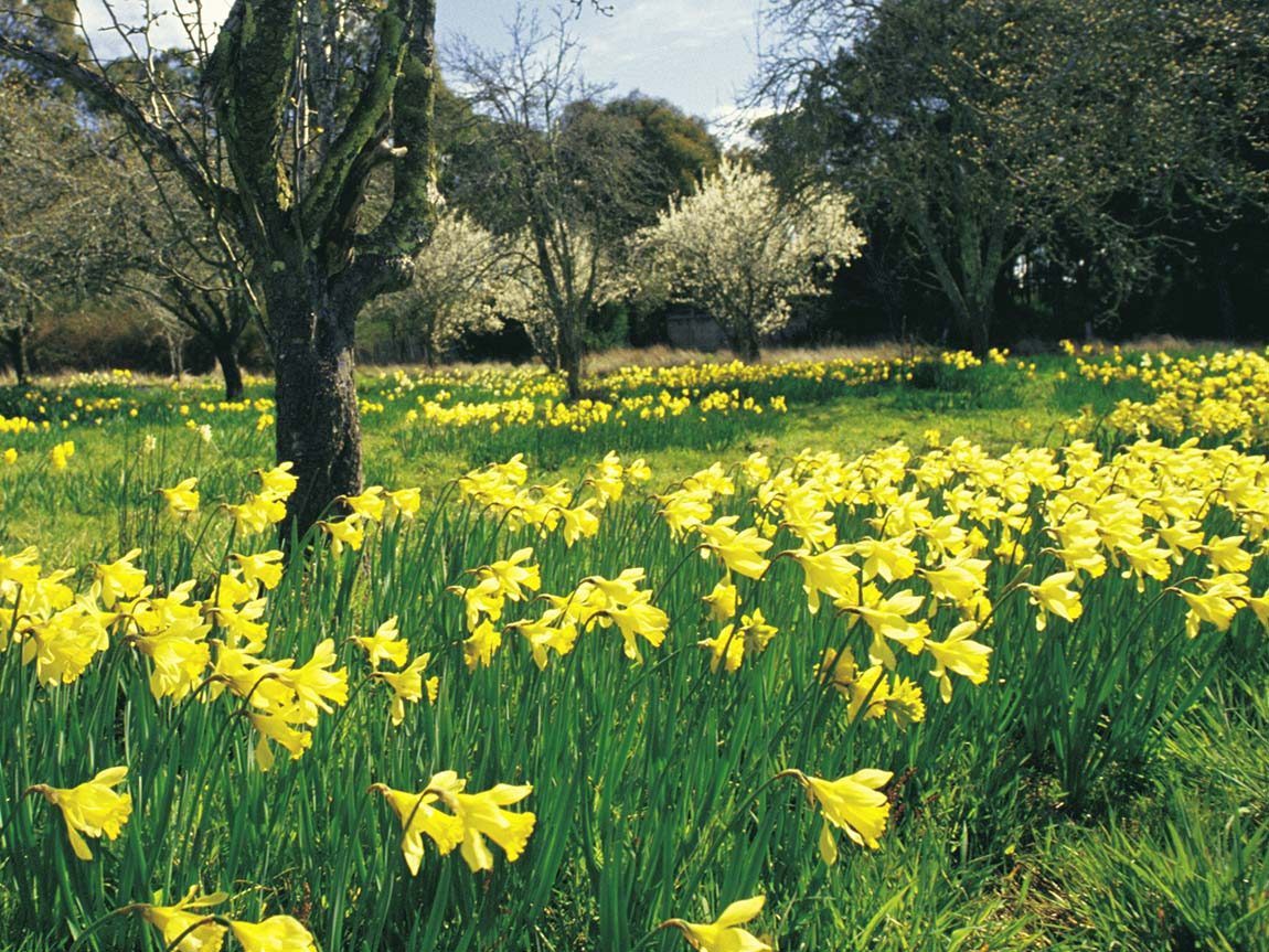 Daffodils, St Arnaud, Grampians, Victoria, Australia