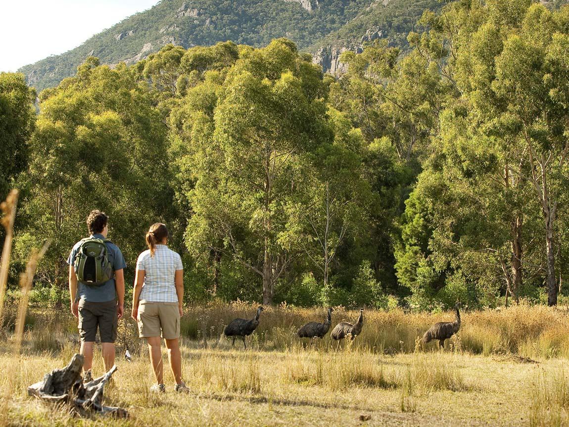 Emus in the wild, Grampians, Victoria, Australia