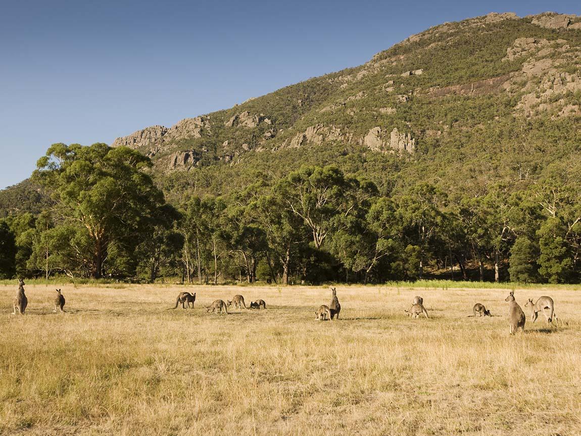 Kangaroos in Halls Gap, Grampians, Victoria, Australia