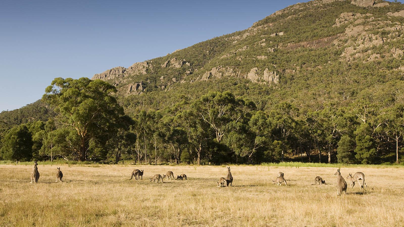 Kangaroos in Halls Gap, The Grampians, Victoria, Australia