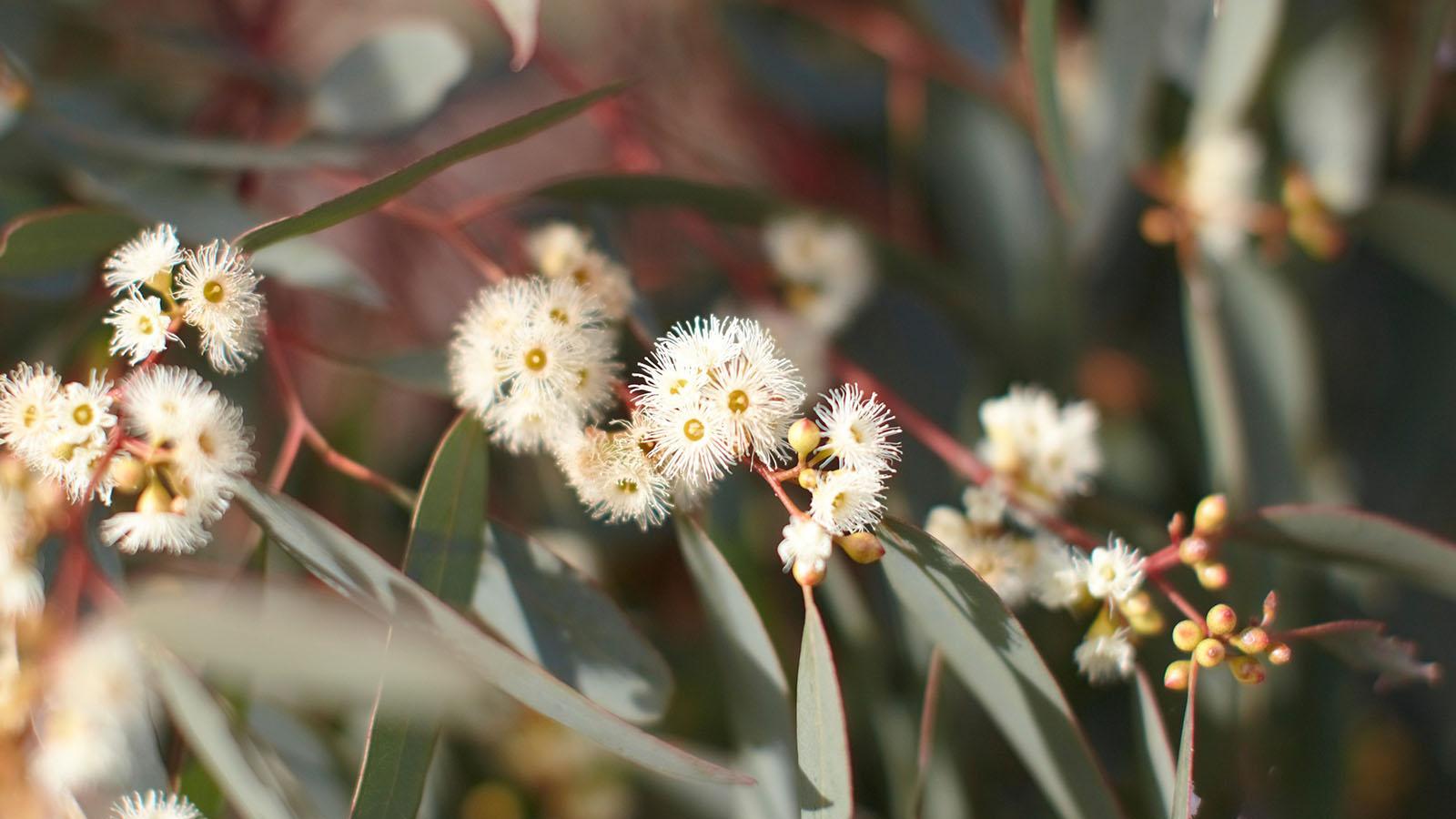 Wildflowers, The Grampians, Victoria, Australia