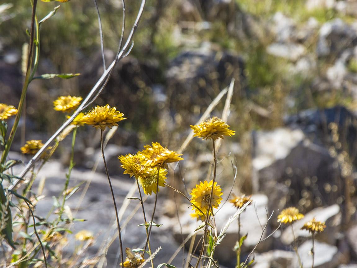 Wildflowers, Grampians, Victoria, Australia