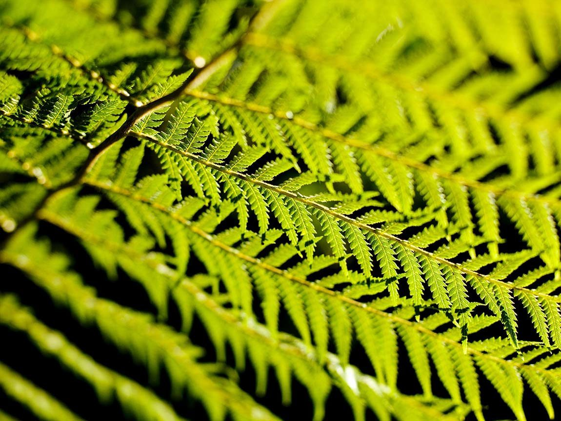 Fern growing near the Otway Fly, Great Ocean Road, Victoria, Australia