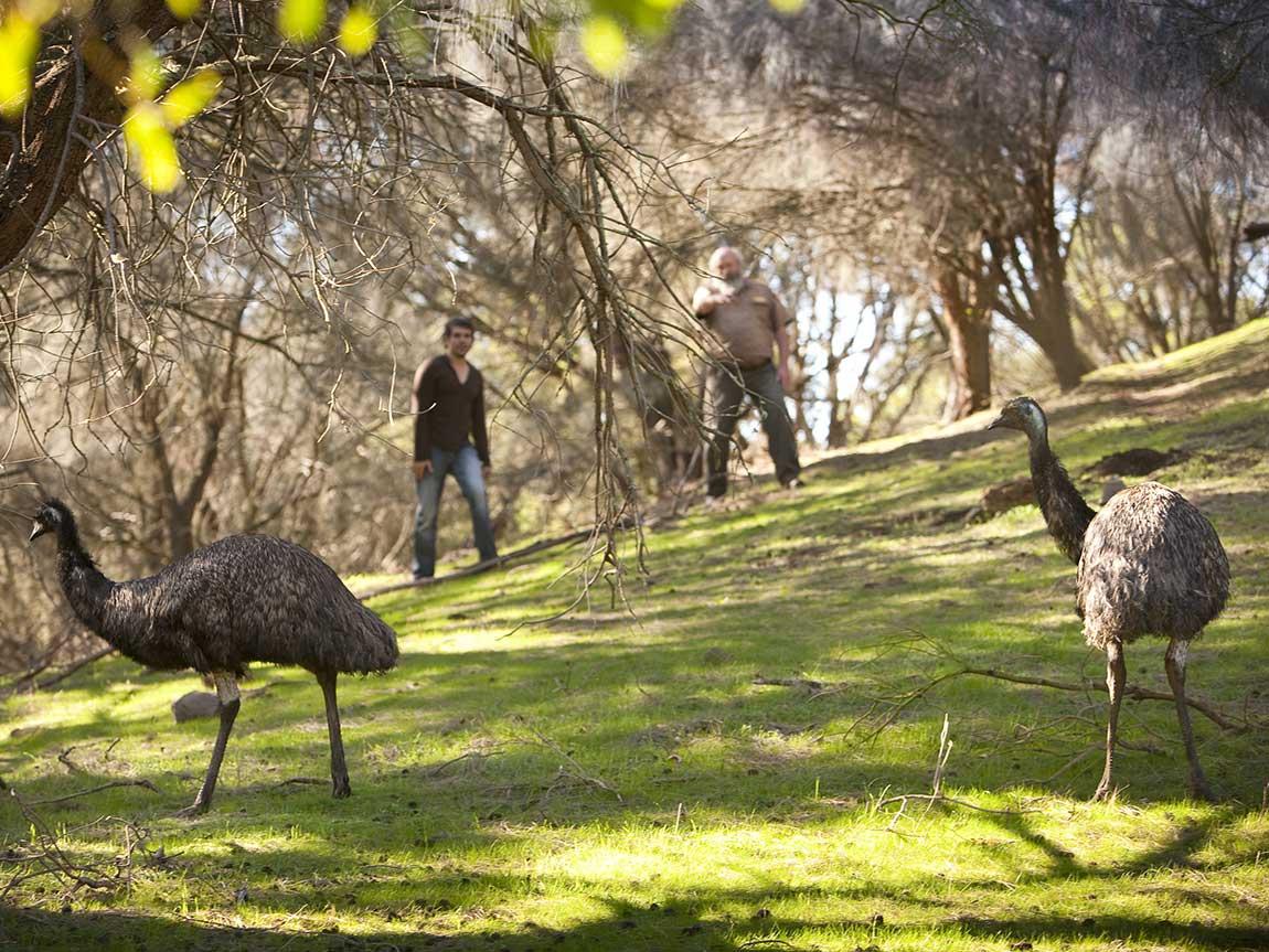 Emus, Tower Hill Wildlife Reserve, Great Ocean Road, Victoria, Australia