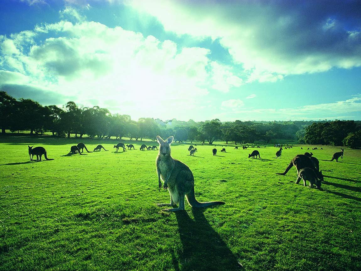 Kangaroos at Anglesea Golf Course, Great Ocean Road, Victoria, Australia