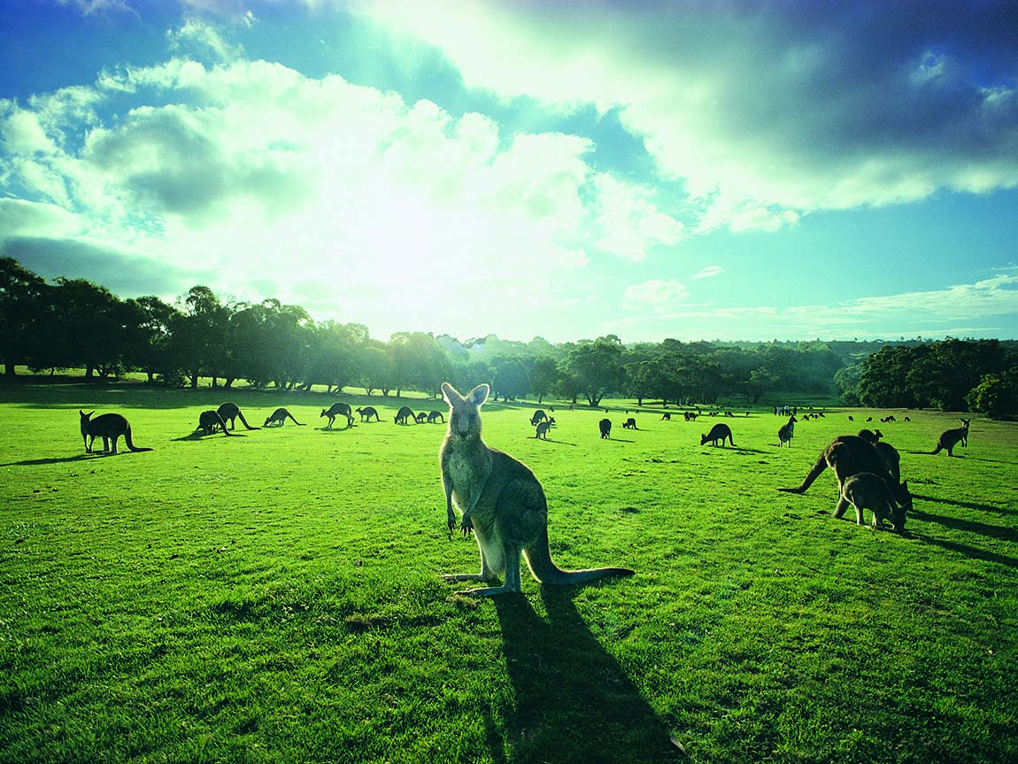 Kangaroos at Anglesea Golf Course, Great Ocean Road, Victoria, Australia