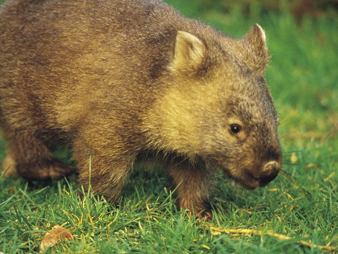 Baby wombat on the Great Ocean Walk, Great Ocean Road, Victoria, Australia
