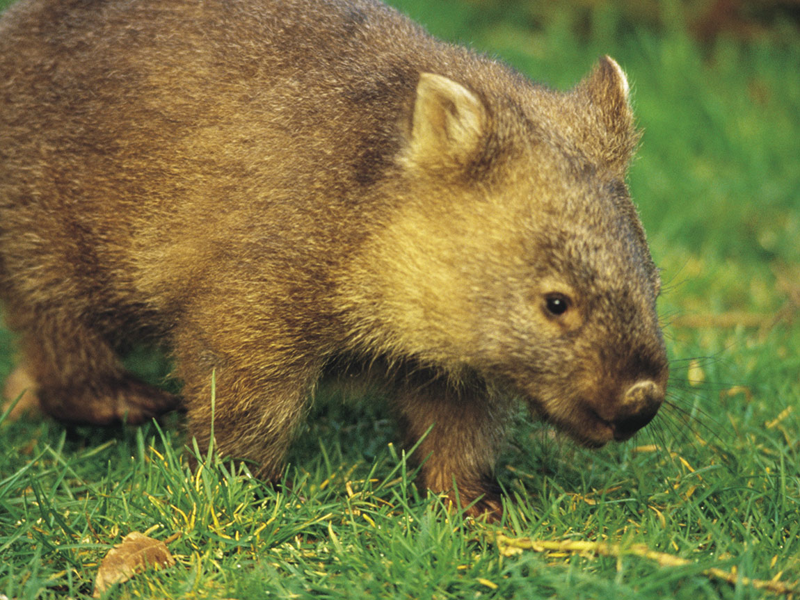 Baby wombat on the Great Ocean Walk, Great Ocean Road, Victoria, Australia