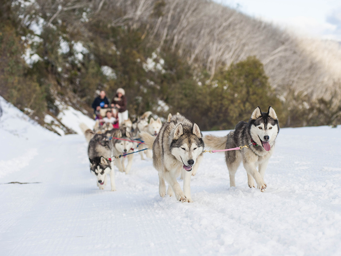 Mt Buller Huskies, High Country, Victoria, Australia. Credit: Andrew Railton