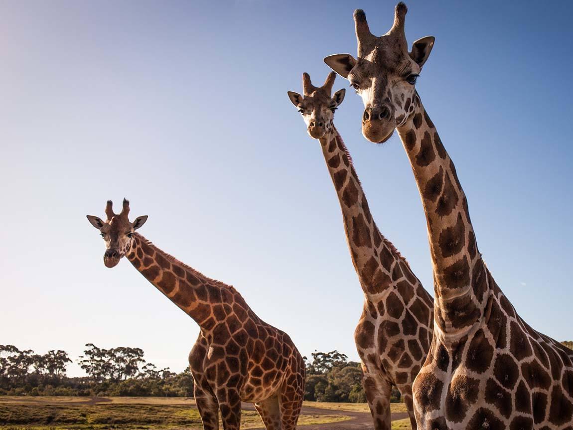 Giraffes at Werribee Open Range Zoo, Melbourne, Victoria, Australia