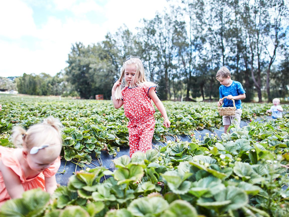 Sunny Ridge Strawberry Farm, Mornington Peninsula, Victoria, Australia