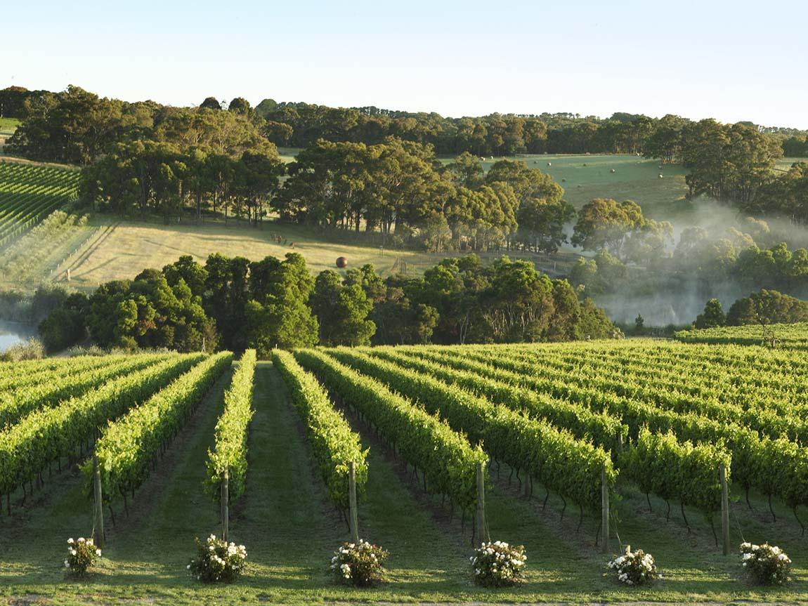 Montalto Vineyard and Olive Grove, Mornington Peninsula, Victoria, Australia