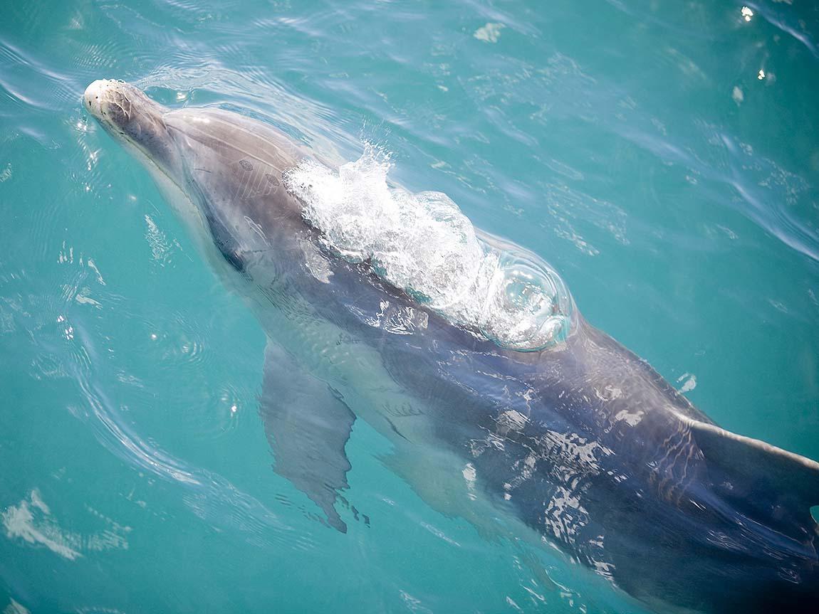 Dolphin in Port Phillip Bay, Mornington Peninsula, Victoria, Australia