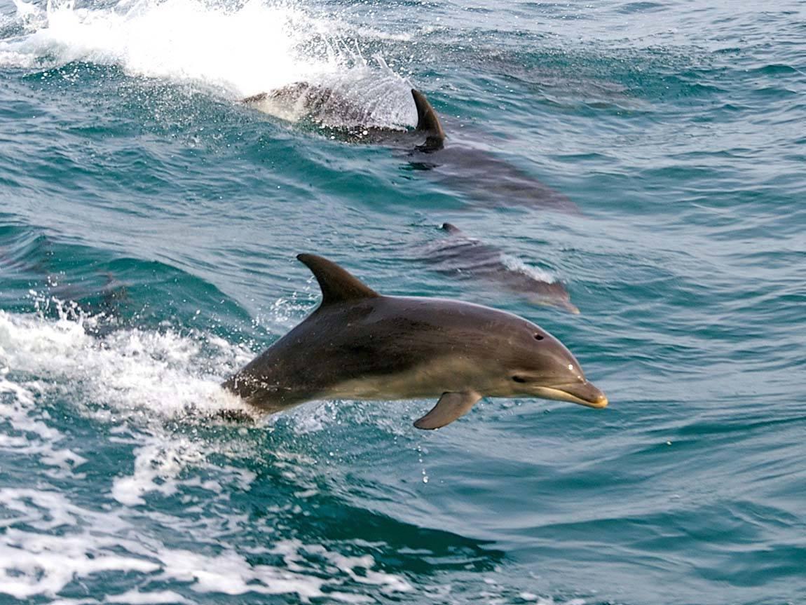 Dolphins in Port Phillip Bay, Mornington Peninsula, Victoria, Australia