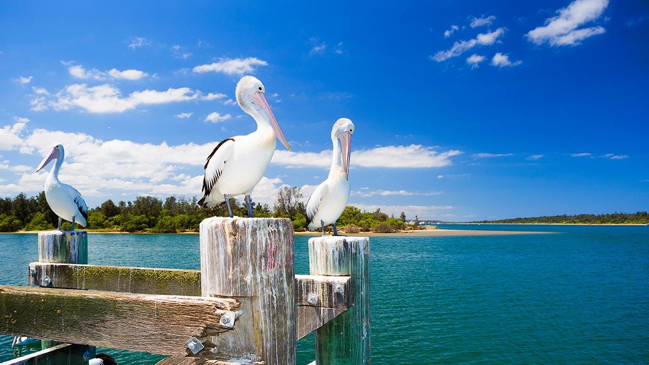 Pelicans, Gippsland, Victoria, Australia