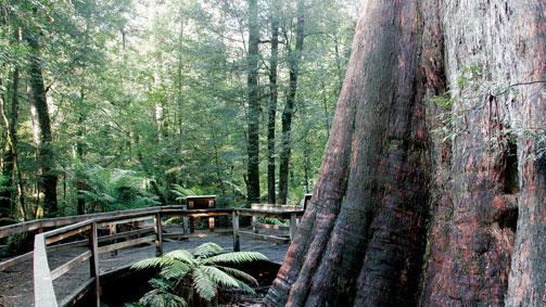 Ada Tree, Gippsland, Victoria, Australia
