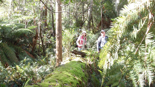 Errinundra Saddle Rainforest Walk, Gippsland, Victoria, Australia